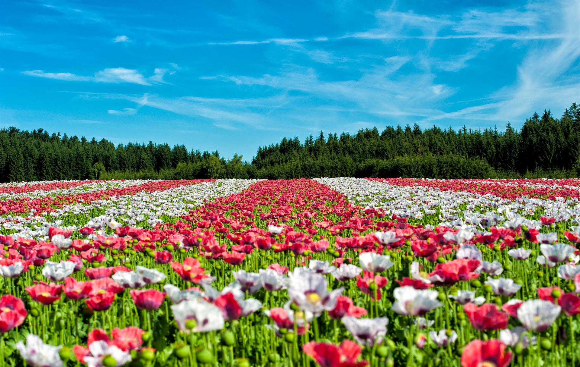 A vast field of red and white poppies on a clear, sunny day
